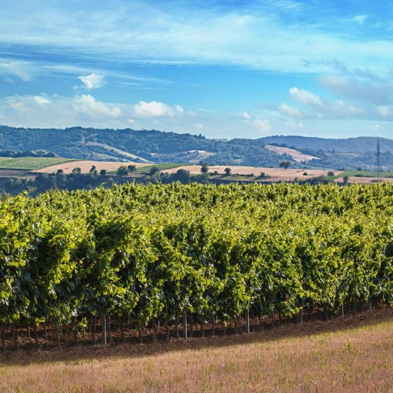 vinogradi vinarije Vinum